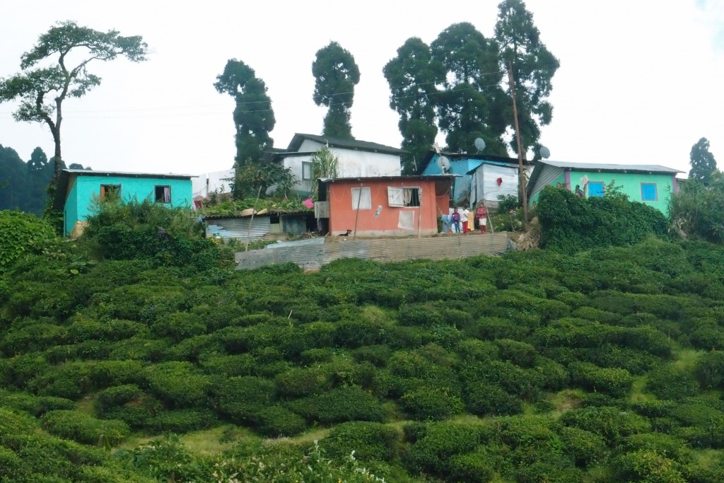 Kurseong Tea Plantation